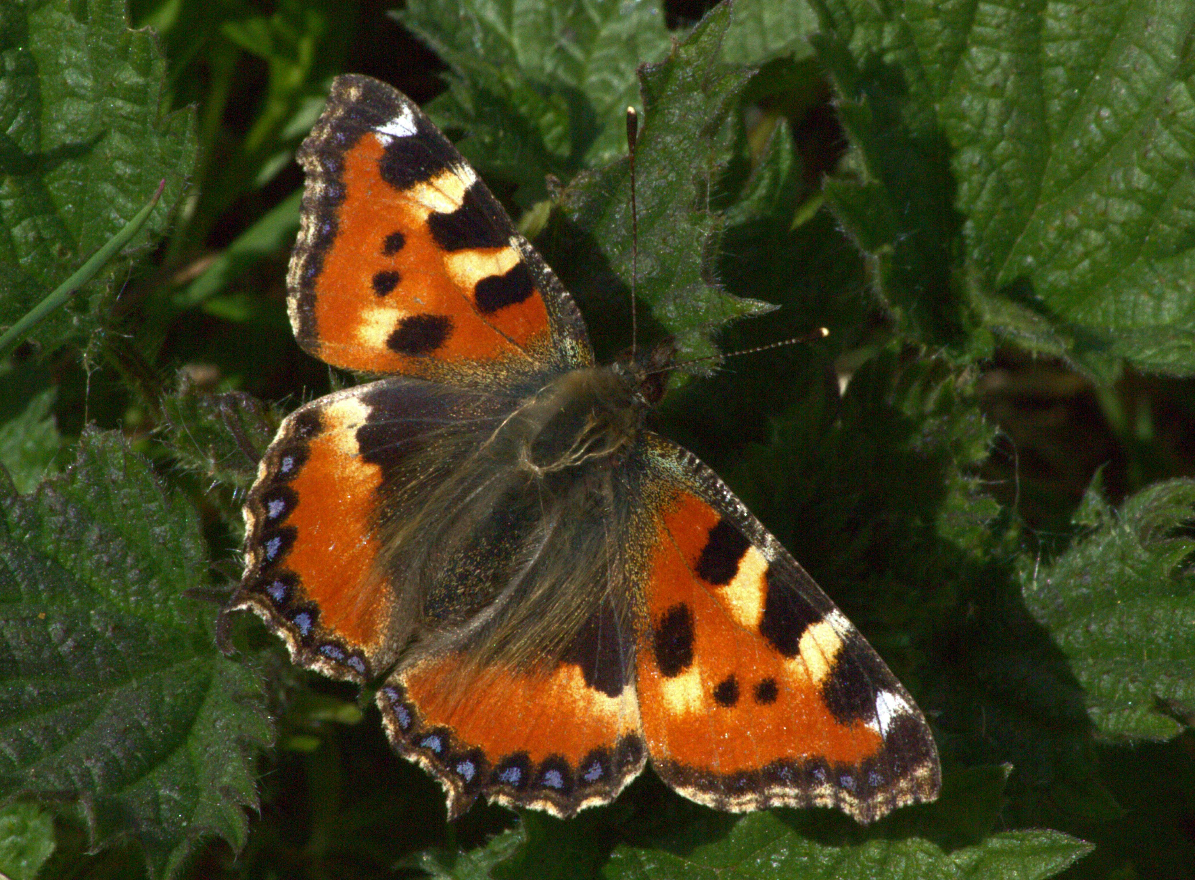 aglais urticae allestree park g4 south 2015 04 14