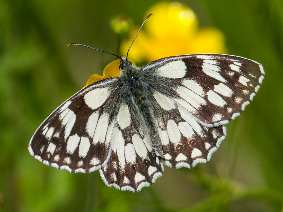 marbled white - andy butler