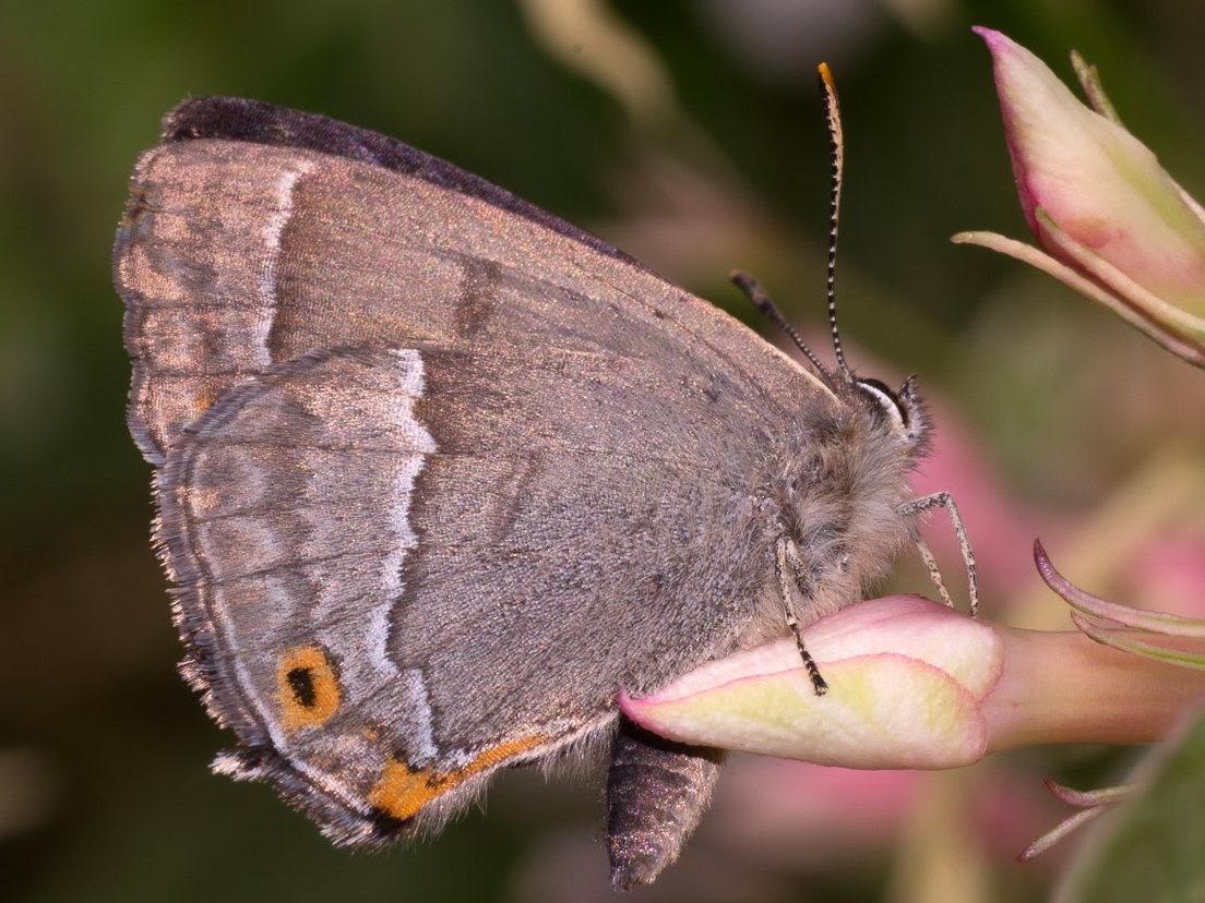 purple hairstreak u.s. steve plant