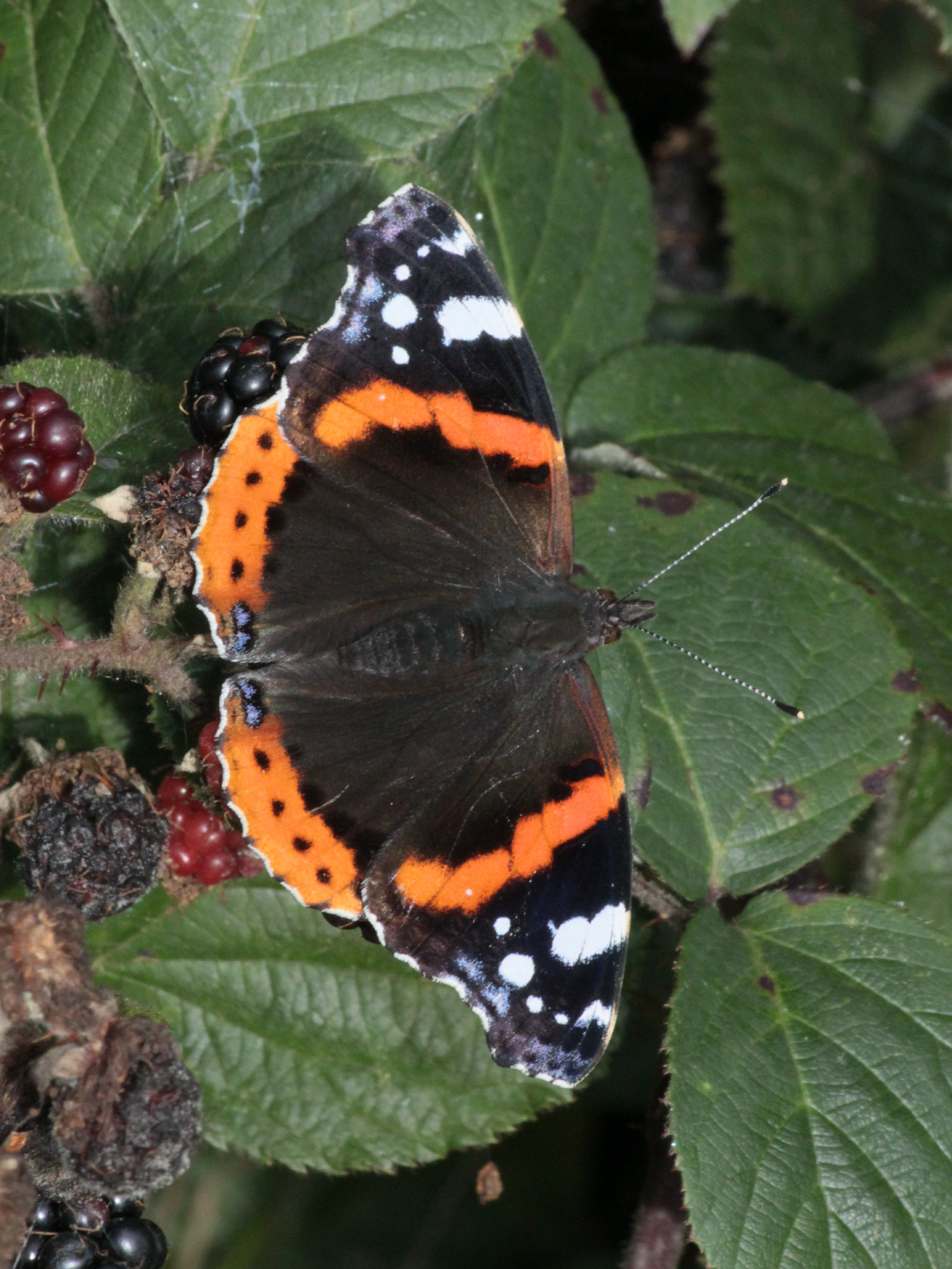 vanessa atalanta allestree - quarndon fields 2016 09 28