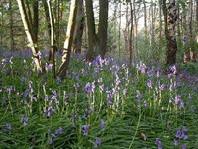 big wood bluebells - 1