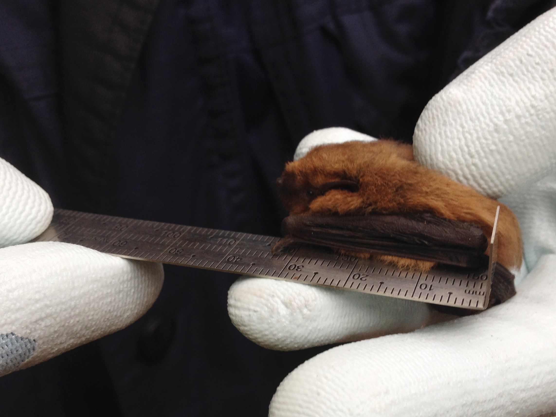 common pipistrelle 1a monica monticelli 4