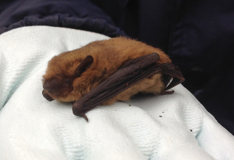 common pipistrelle reduced - m m